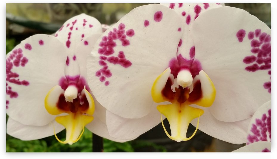 Orchid Photography by Katherine Lindsey Photography