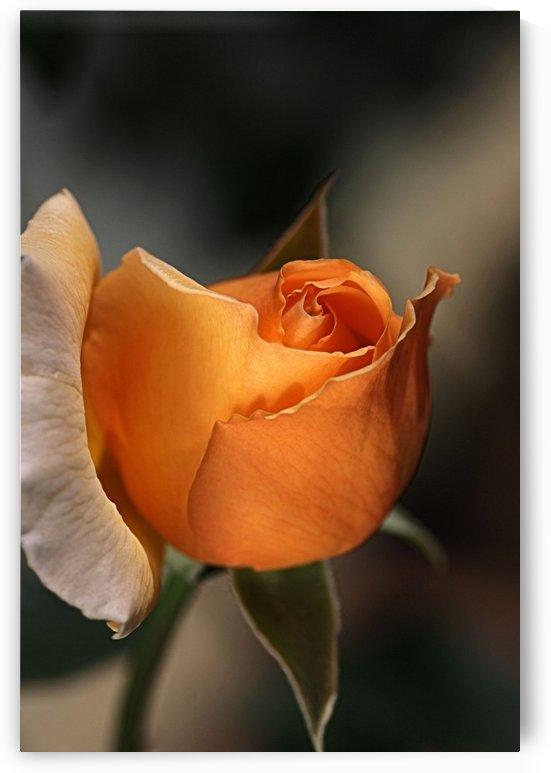 Romance Orange Rose by Joy Watson
