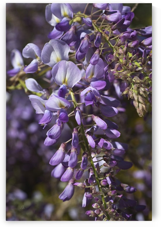Wisteria Spring Fragrance  by Joy Watson