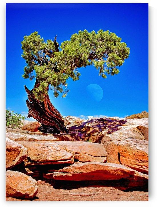 Juniper w moon by Pamela Winter