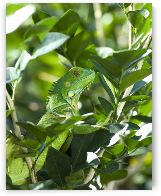 Green Iguana by Ian Barr