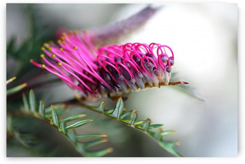 Grevillea In Pink by Joy Watson