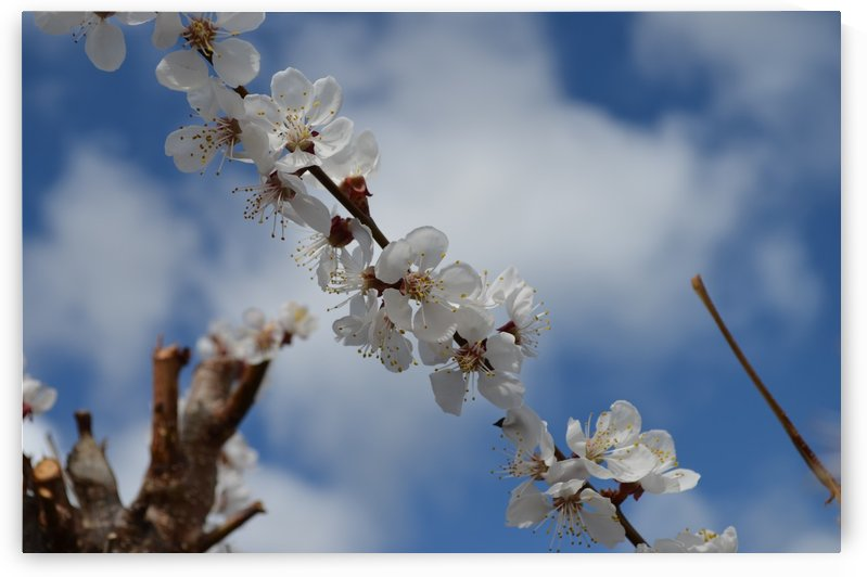 Tree Blossoms against Blue Skies by MDruba