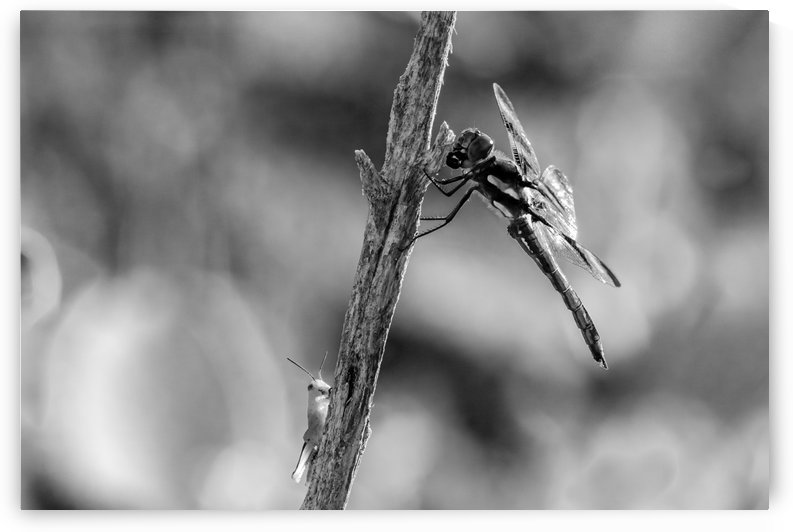 Beware Grasshopper I Have Almost Finished The Appetizer.BW by Garald Horst