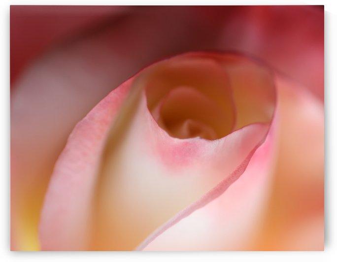 Intimate Rose by Kaye