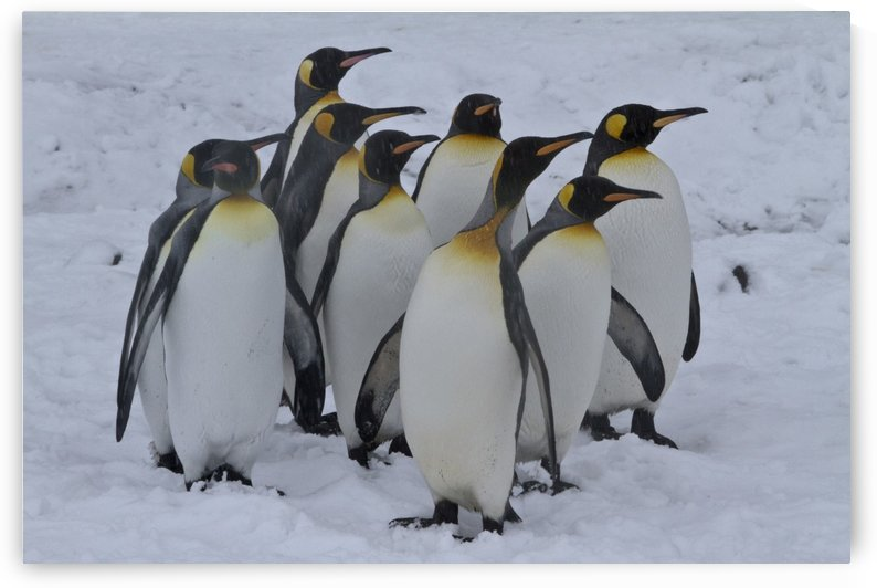 Crowd of Emporer Penguins by Kaye