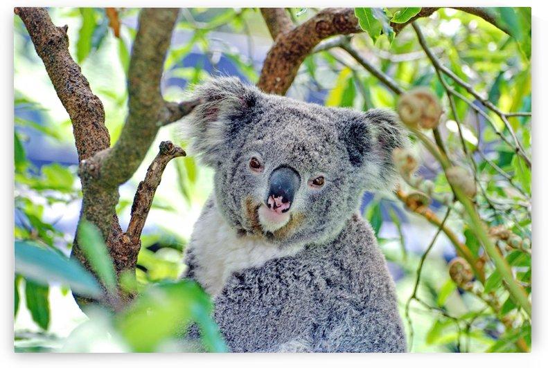 Koala Portrait by Thula-Photography