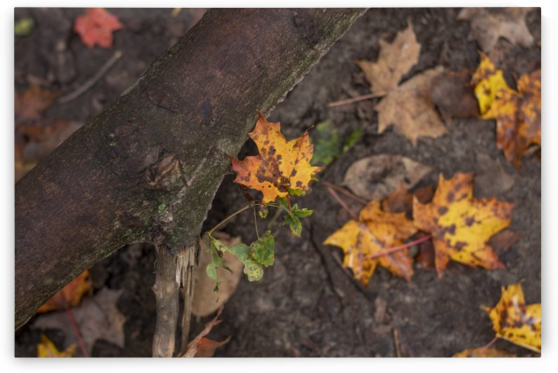 Fallen Leaves by Ola Photography