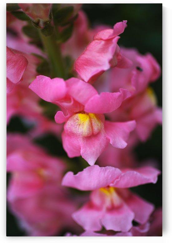 Snapdragon Flowers by Joy Watson