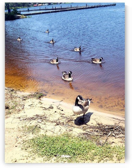 Trailing Ducks by Kate Jaxxon