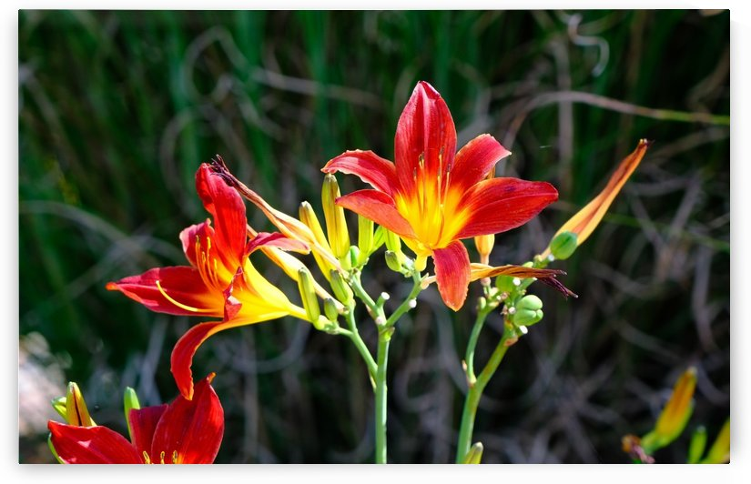 Orange and Yellow Tiger Lilies by Darryl Brooks