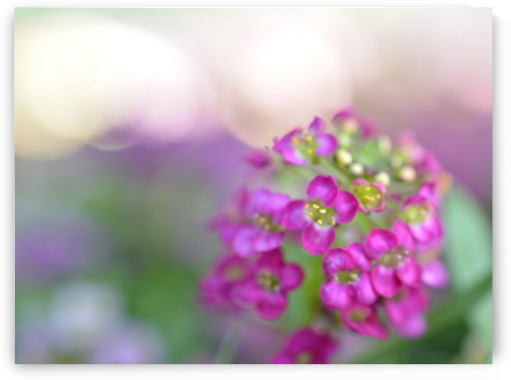 Pink Flower Soft Photography by Katherine Lindsey Photography