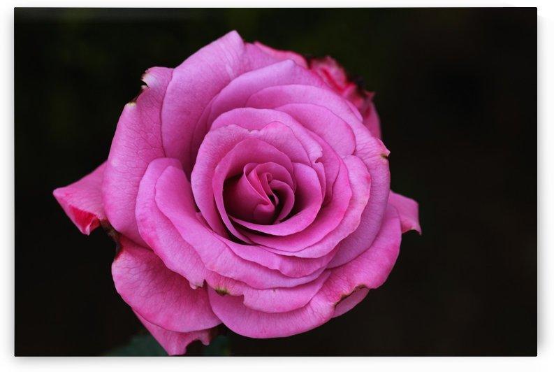 Divine Pink Rose by Joy Watson