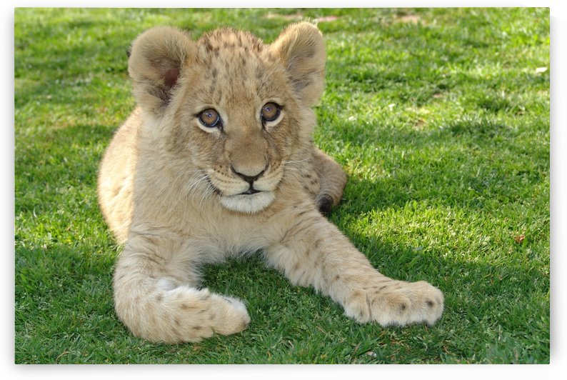Lion Baby 2005 by Thula-Photography