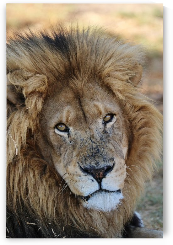 Lion Male 2118 by Thula-Photography