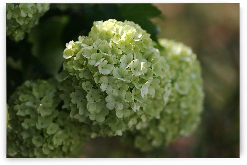 The Snowball Flower by Joy Watson
