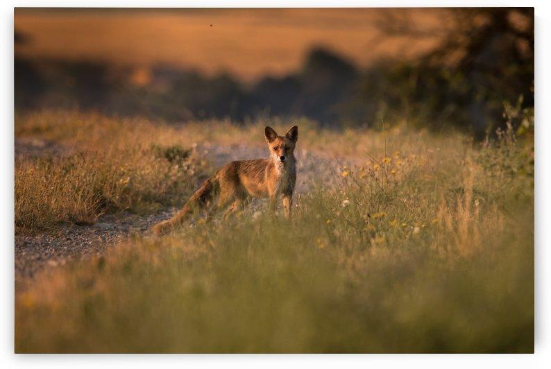 Fox in the dark by Joey Di Maggio