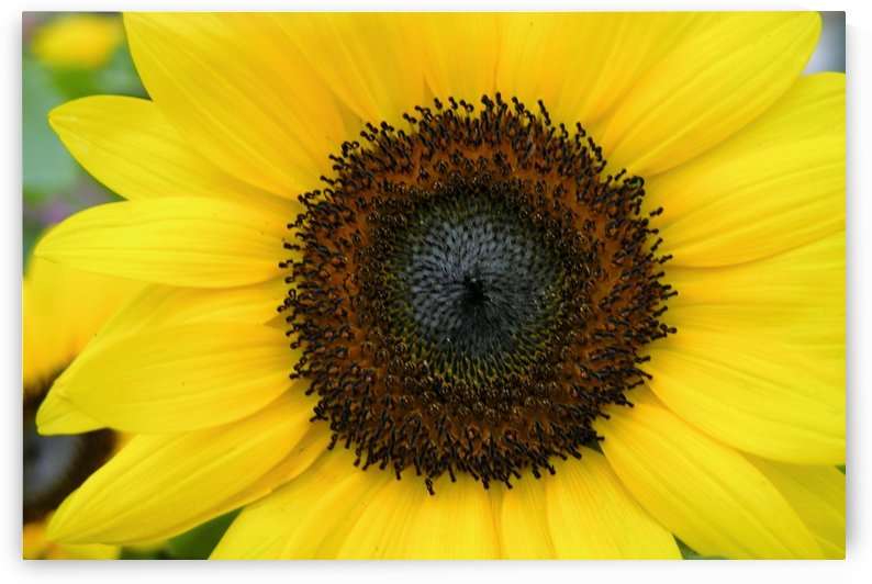 Yellow Sunflower Flower Photograph by Katherine Lindsey Photography