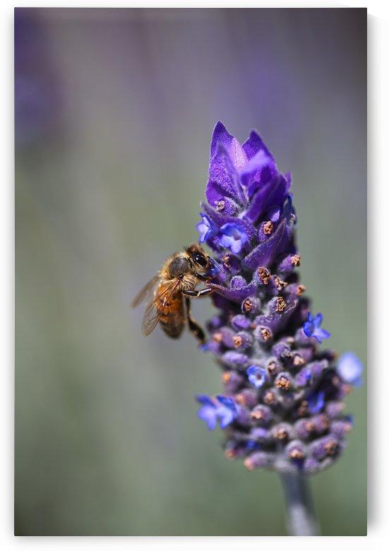 Bee Feast On Lavender  by Joy Watson