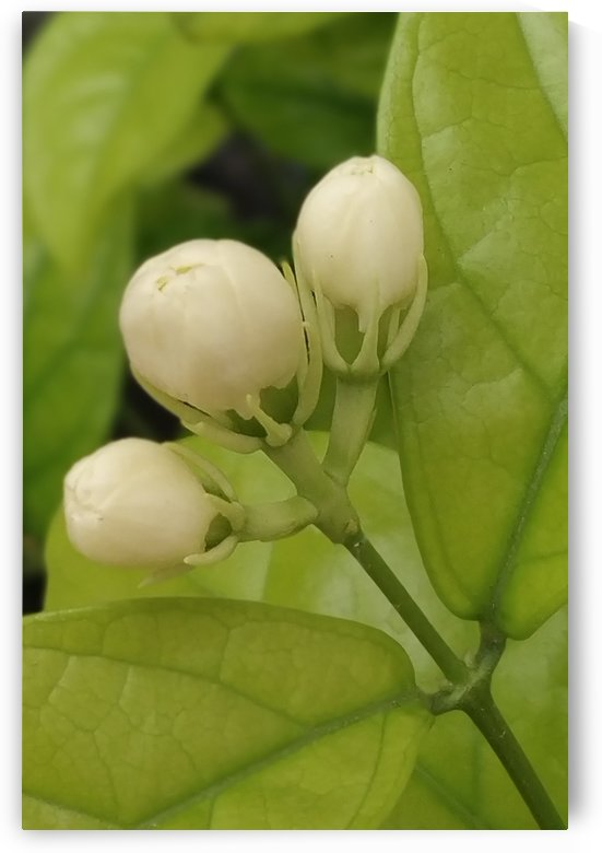 Jasmine Fragrance    by rizu_designs