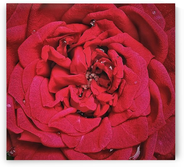 RED ROSE    by rizu_designs