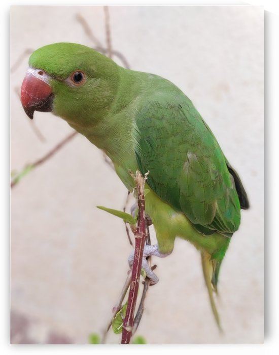 Lovely Indian Cute Parrot by rizu_designs