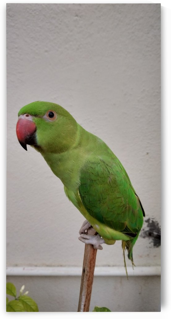 Beautiful Indian Parakeet by rizu_designs
