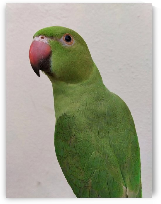 Cute Indian Parakeet  by rizu_designs