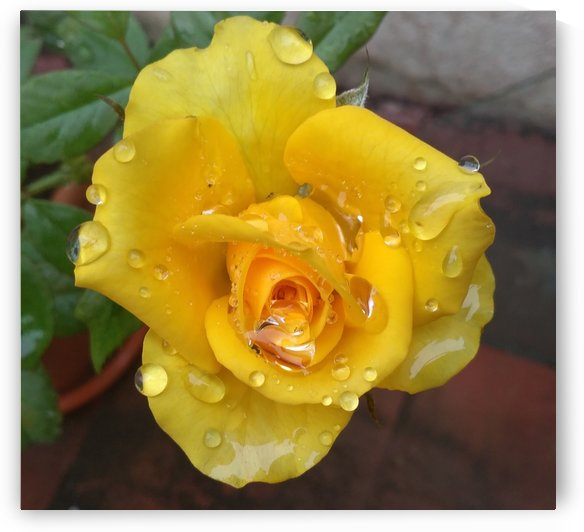 Yellow Rose with Dew Drops by rizu_designs