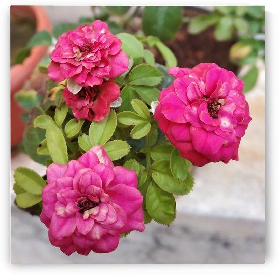Blooming Roses by rizu_designs