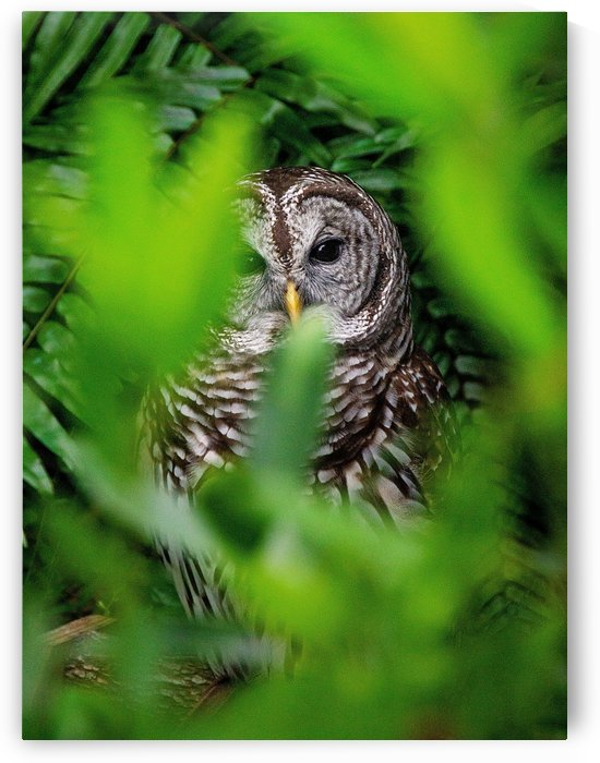 Barred Owl by Pamela Winter