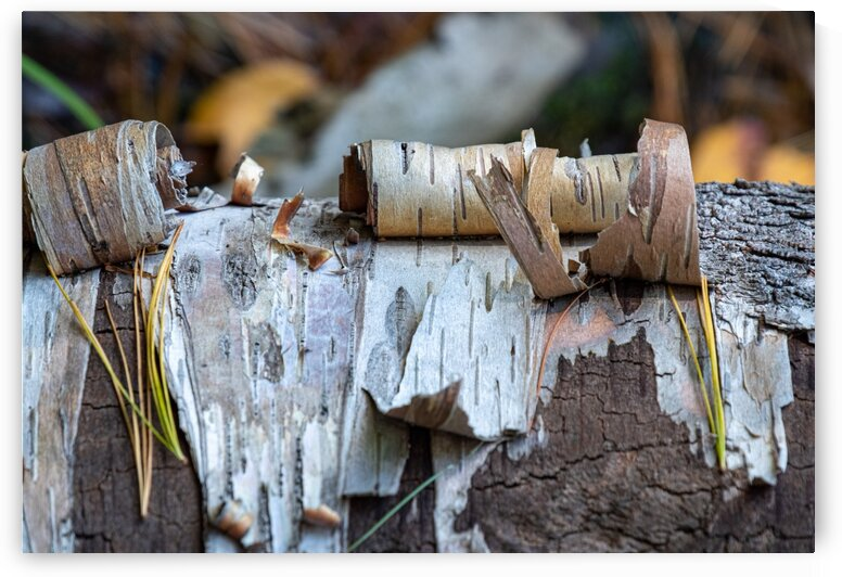 Fallen Birch by Dave Therrien