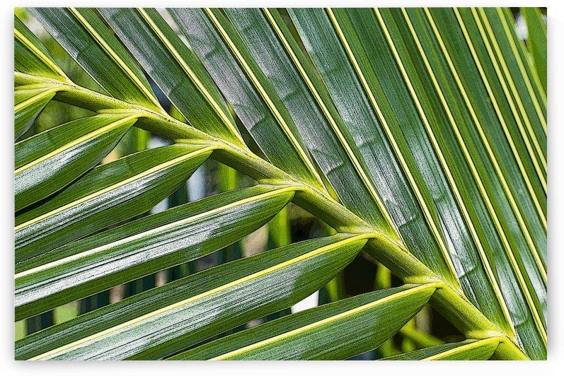 Coconut Palm 3 by Ian Barr