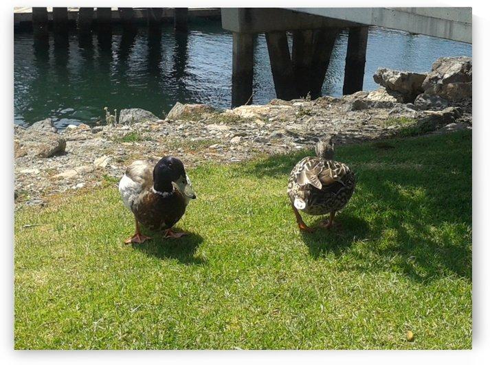 Two beautiful ducks by RollaD