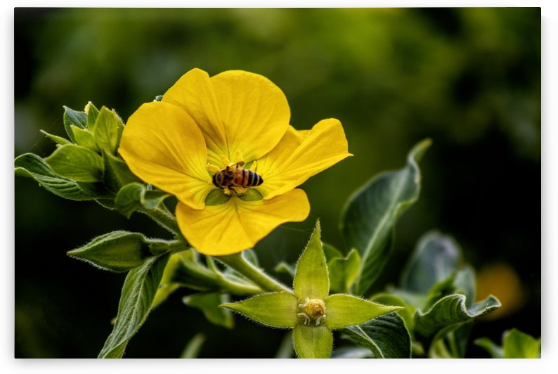 Honey Bee on Yellow Flower by Connie Maher