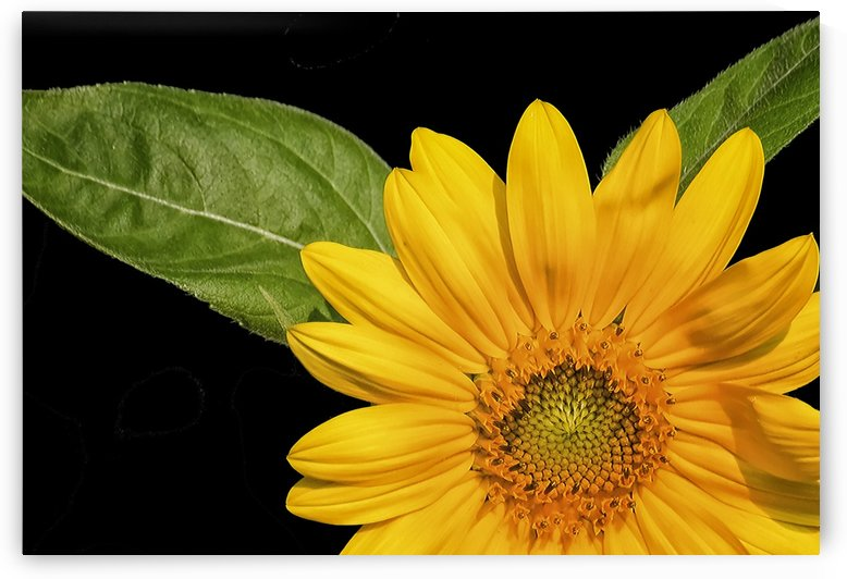 Sunflower  by Connie Maher