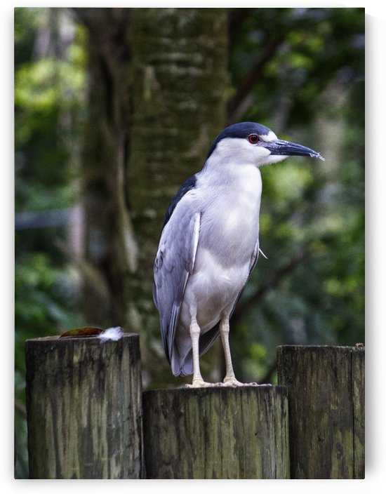 Night Shade Heron by Connie Maher