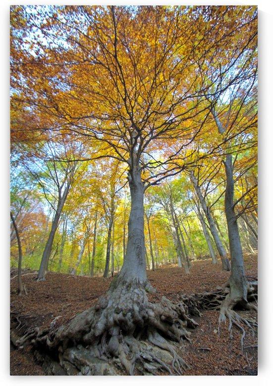 autumn forest by Luigi Girola