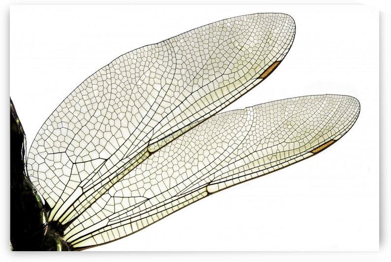 Dragonfly Wings by Joe Riederer