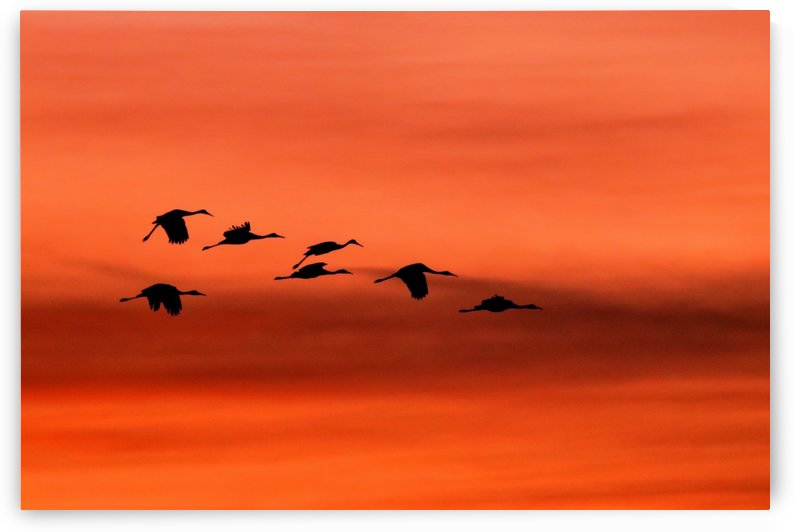 Sandhill Cranes at Sunset by Joe Riederer