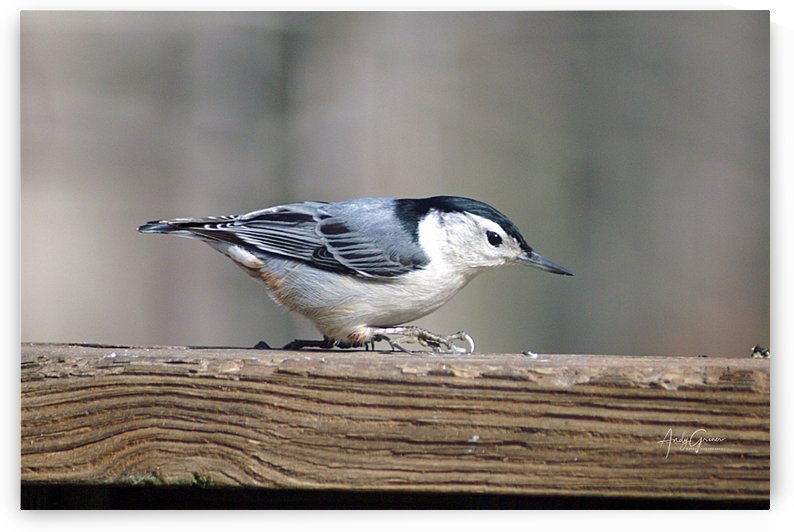 White-Breasted Nuthatch by Andy Griner