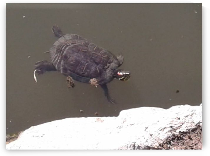 Turtle swim by RollaD