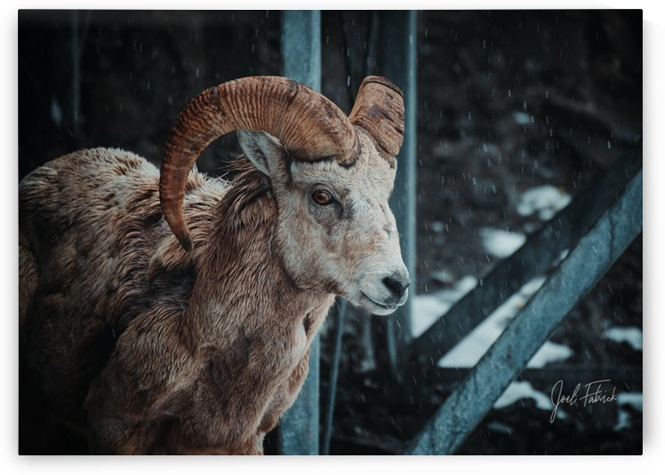 Bighorn in the Snow by Joel Fabrick
