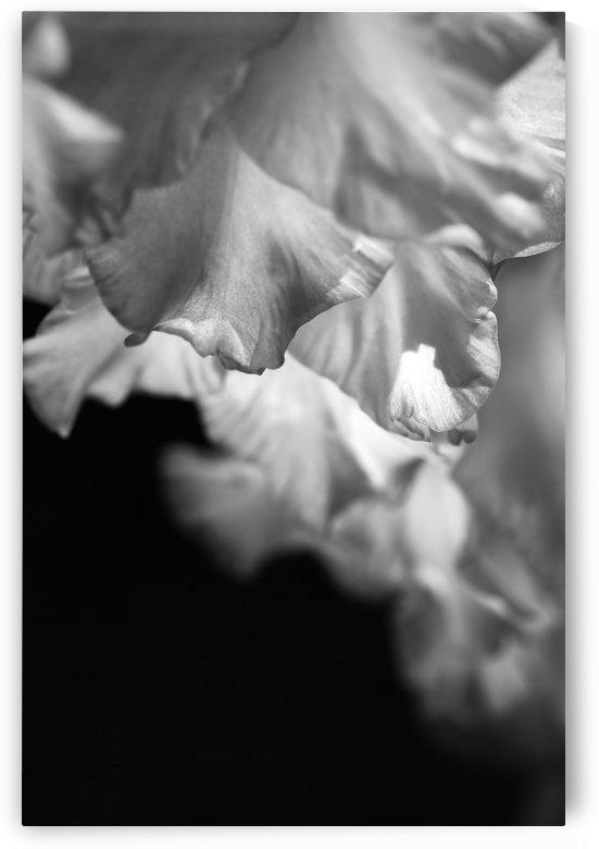 Gladiolus Petals Dance by Joy Watson