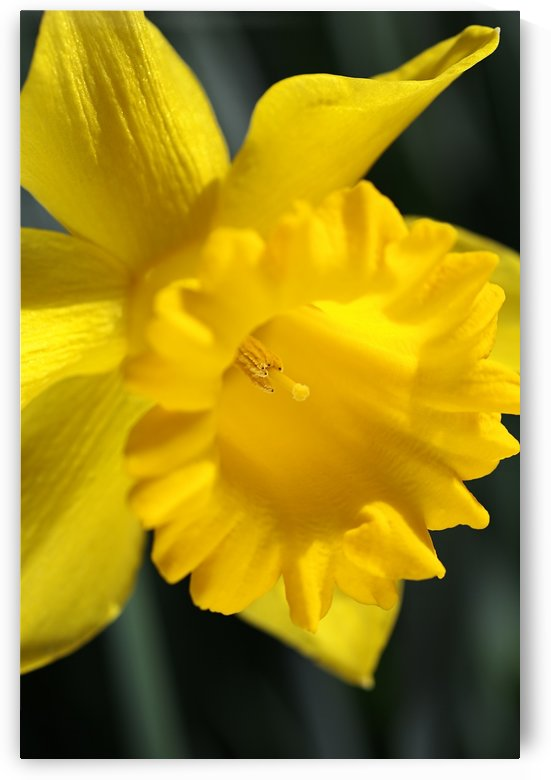 Daffodil Yellow Up Close by Joy Watson