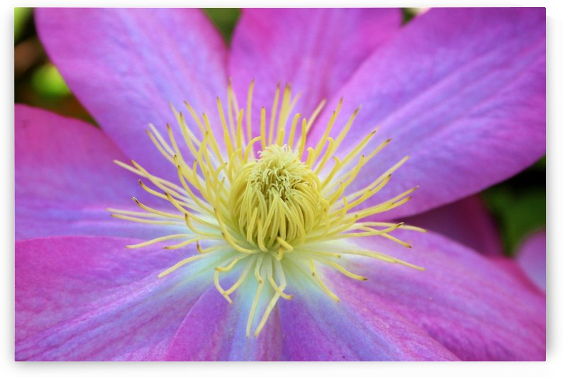 Purple Clematis by Rachel Niven