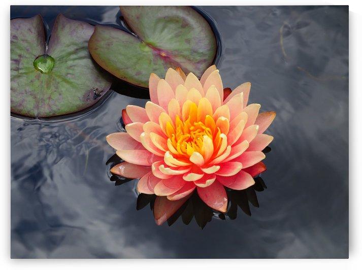 Orange Water Lily on Pond by Michaela Scherr