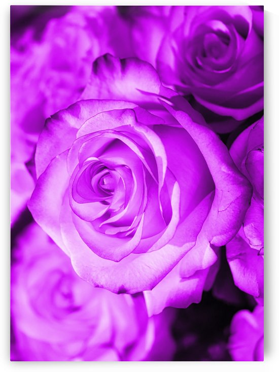Rose purple  by Thula-Photography