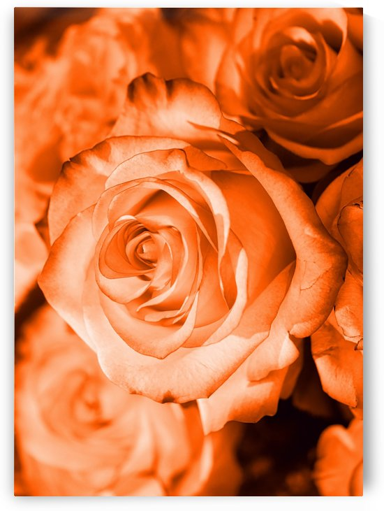 Rose orange by Thula-Photography