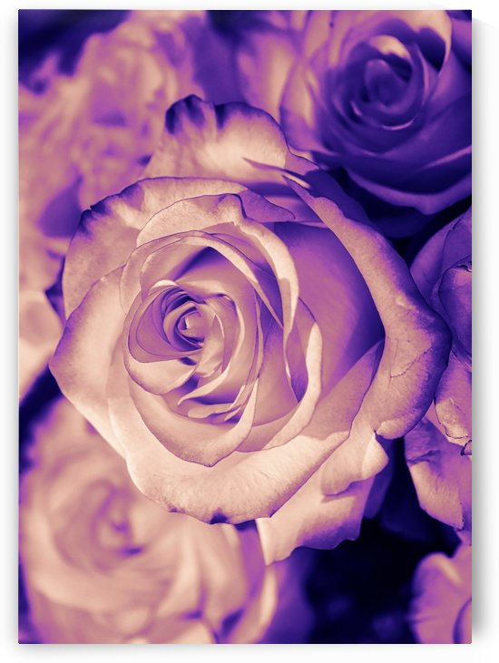 Rose pink purple by Thula-Photography